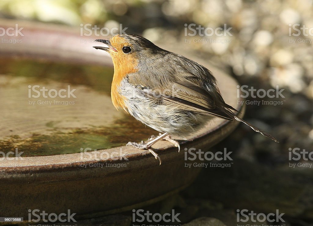 Robin drinking royalty-free stock photo