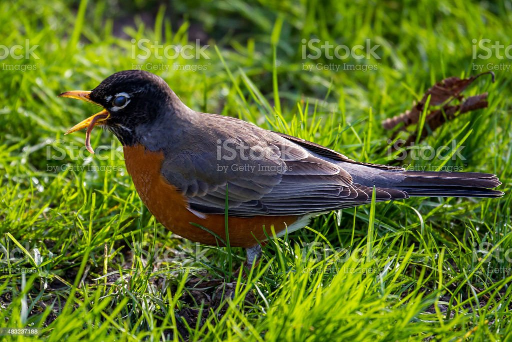 Robin Eating a Worm in the Grass stock photo