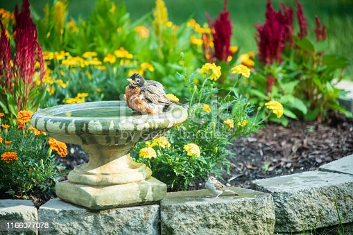 A robin cleaning itself in a bird bath in the flower garden.  A bird buddy is waiting for its turn.