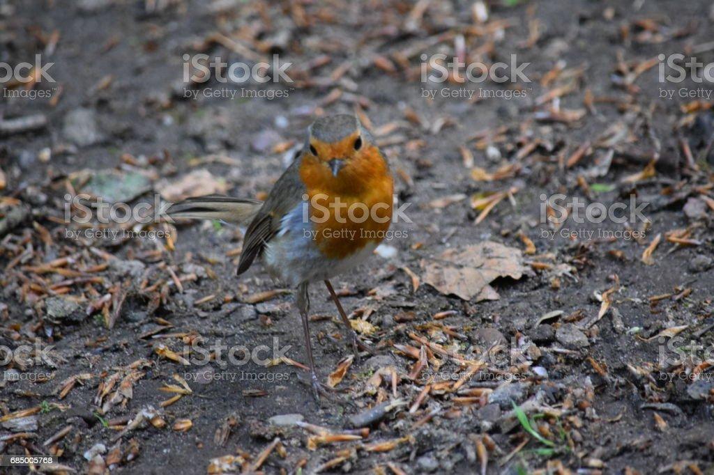 Robin, Erithacus Rubecula, auf dem Waldboden Lizenzfreies stock-foto