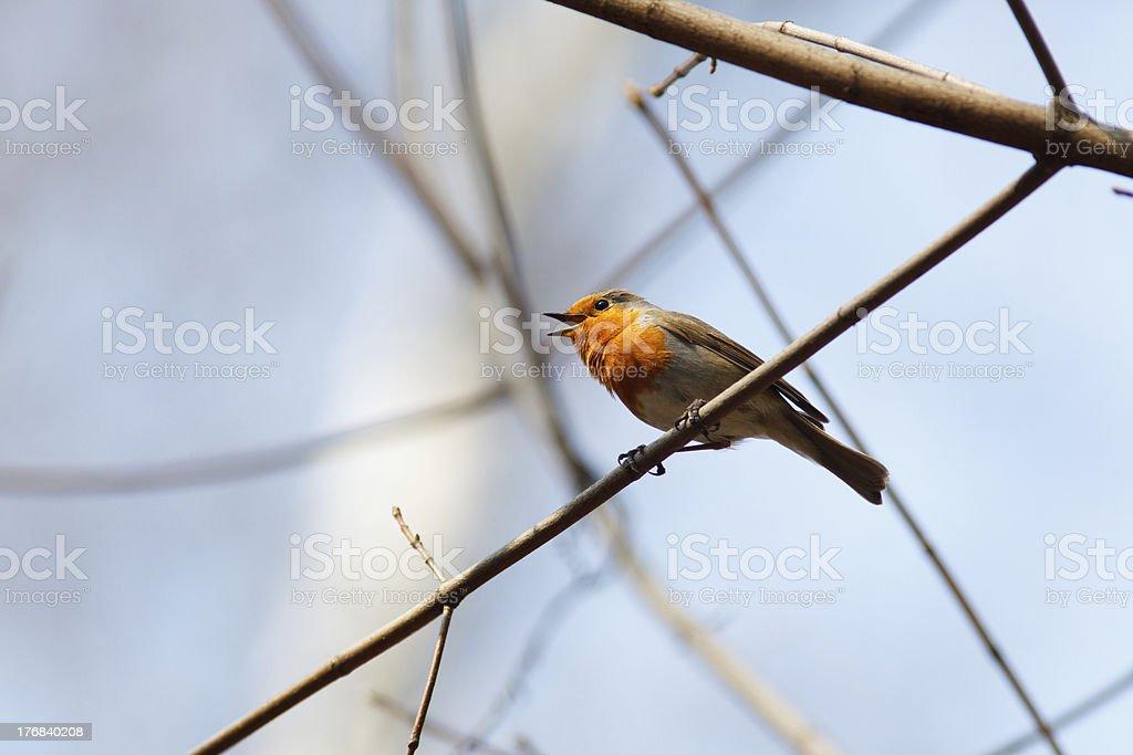 Robin, Erithacus rubecula stock photo