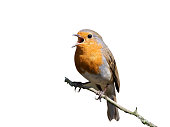 European robin perching on tree branch and singing.Small, cute and colourful bird in british woodland.Bright and vibrant wildlife image with copy space.