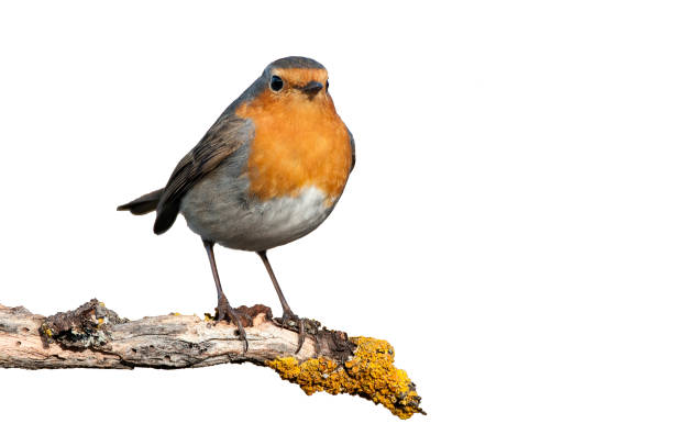 Robin erithacus rubecula standing on a branch with white background picture id1135506483?b=1&k=6&m=1135506483&s=612x612&w=0&h=lhvqzczsns4osmgu1vqtth5vhmqm8kvs4im2 ujhyso=