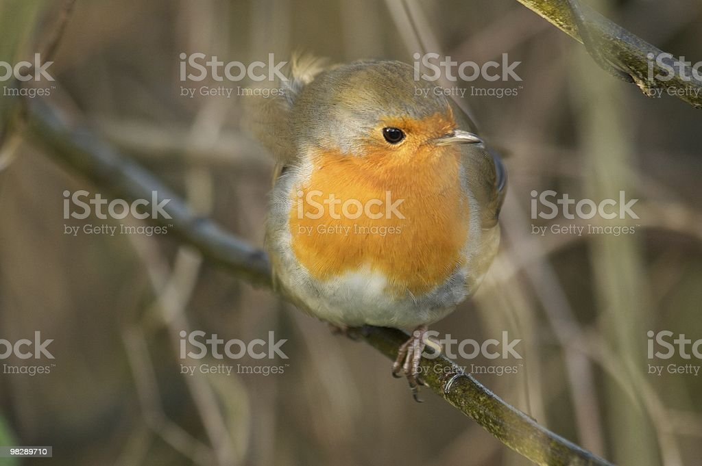 Robin eyes the camera at Titchwell RSPB, Norfolk UK royalty-free stock photo
