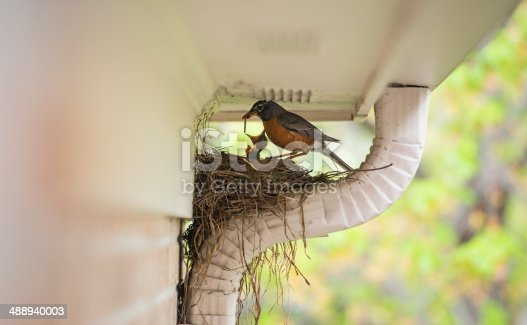 Robin with worm in his beak preparing to feed his two young babies in their nest. More birds: