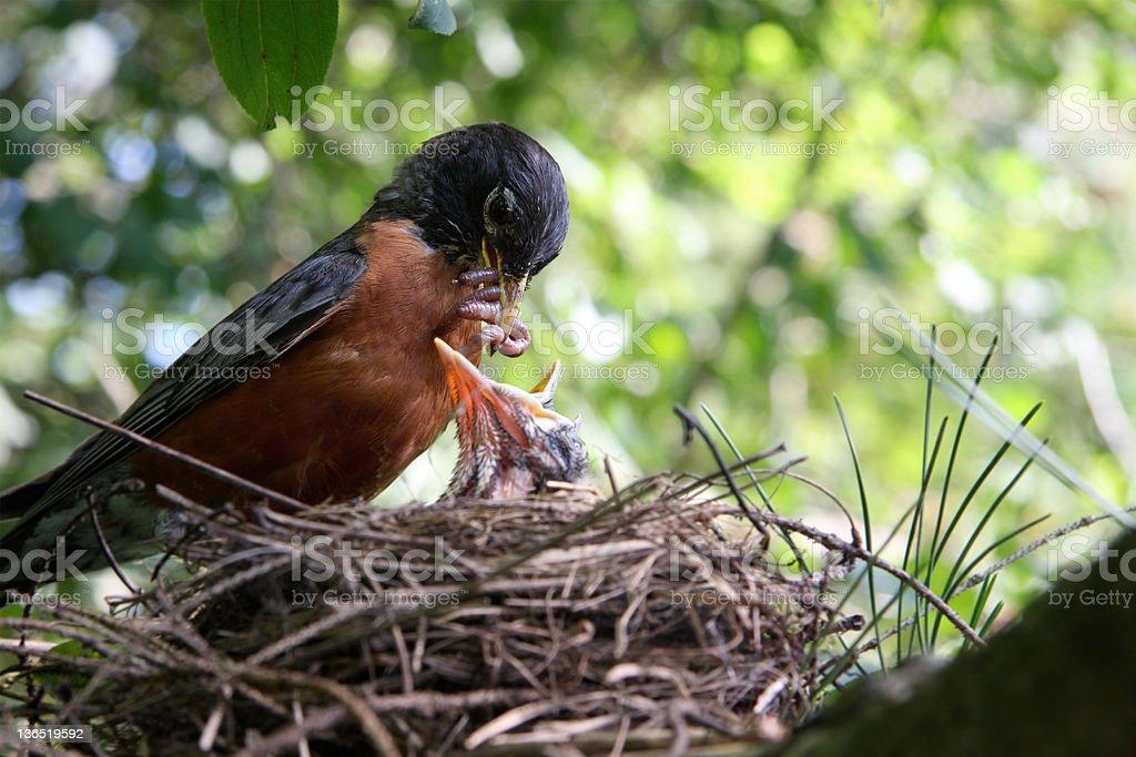 Robin feeding offspring royalty-free stock photo