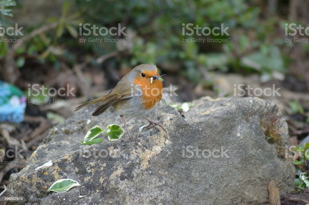 Robin Feeding on Grubs royalty-free stock photo