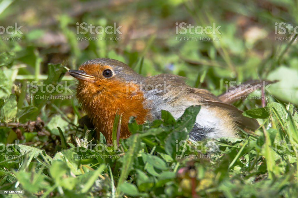 Robin (Erithacus rubecula) fledgling on ground royalty-free stock photo