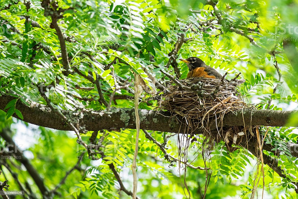 Robin Guarding Her Nest stock photo