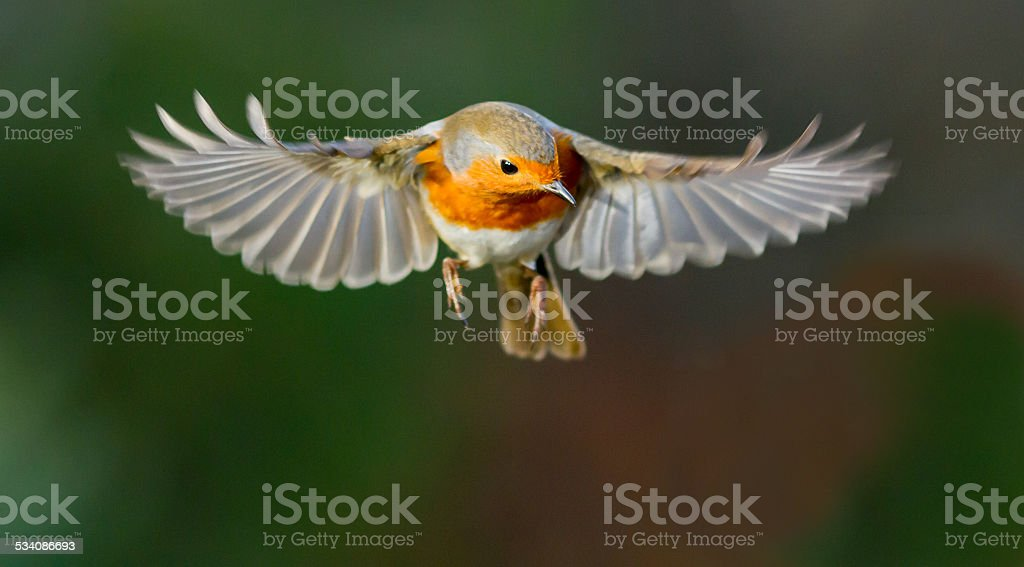 Robin hovering mid flight stock photo