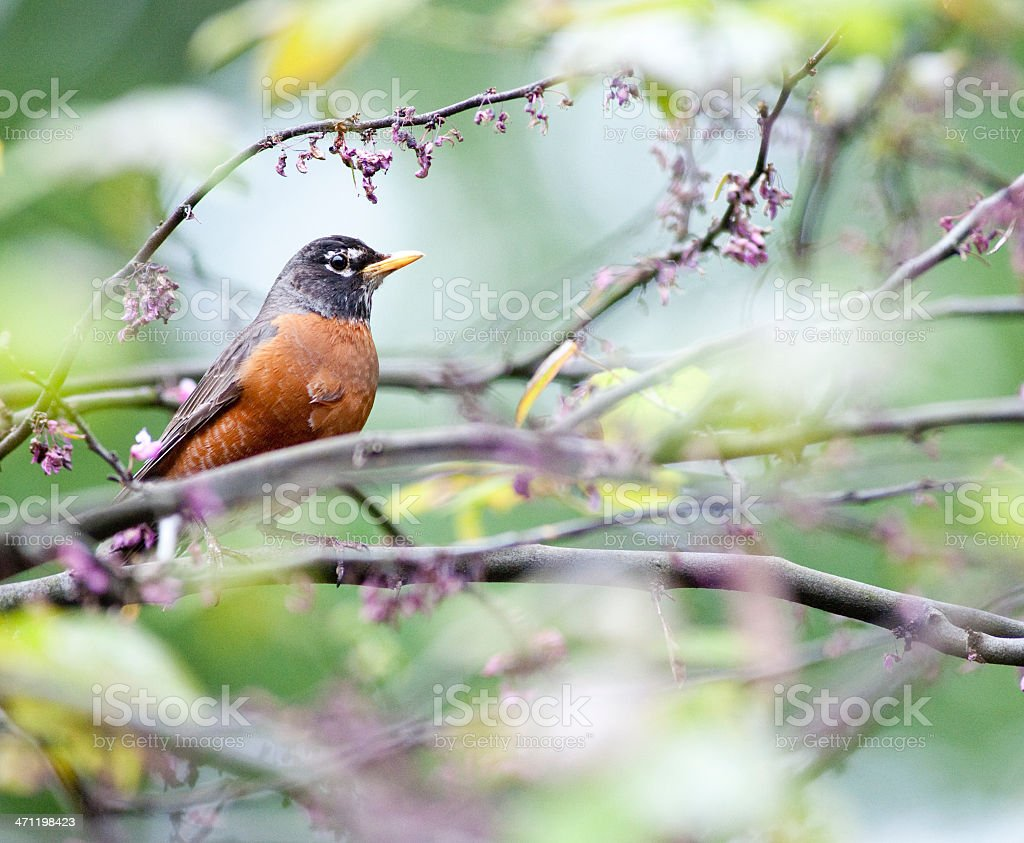 Robin in a tree on an early Spring morning in park stock photo