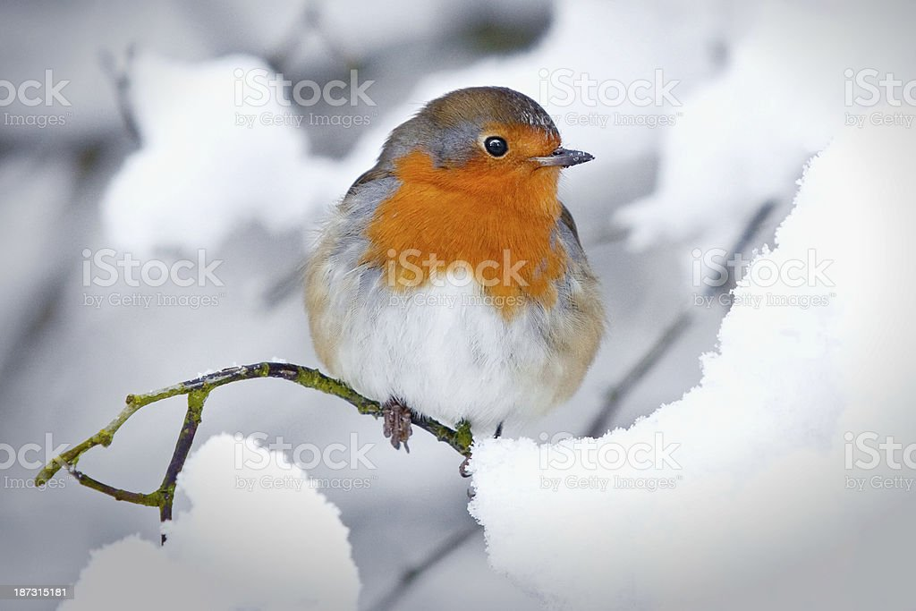 Robin in a winter snow scene stock photo
