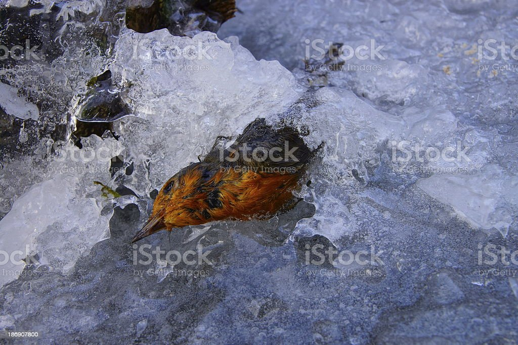 Robin in ice royalty-free stock photo
