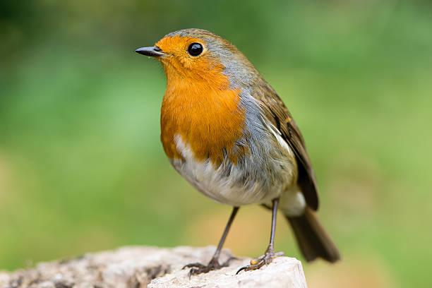 Robin (Erithacus rubecula) in profile with striking orange breast stock photo