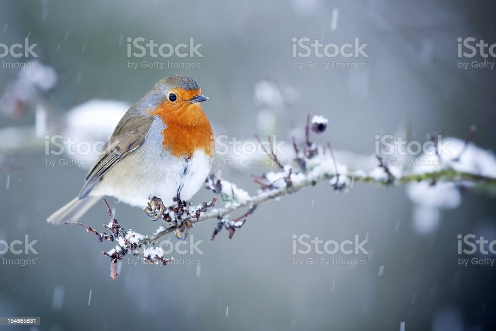 Robin in Snow Fall stock photo