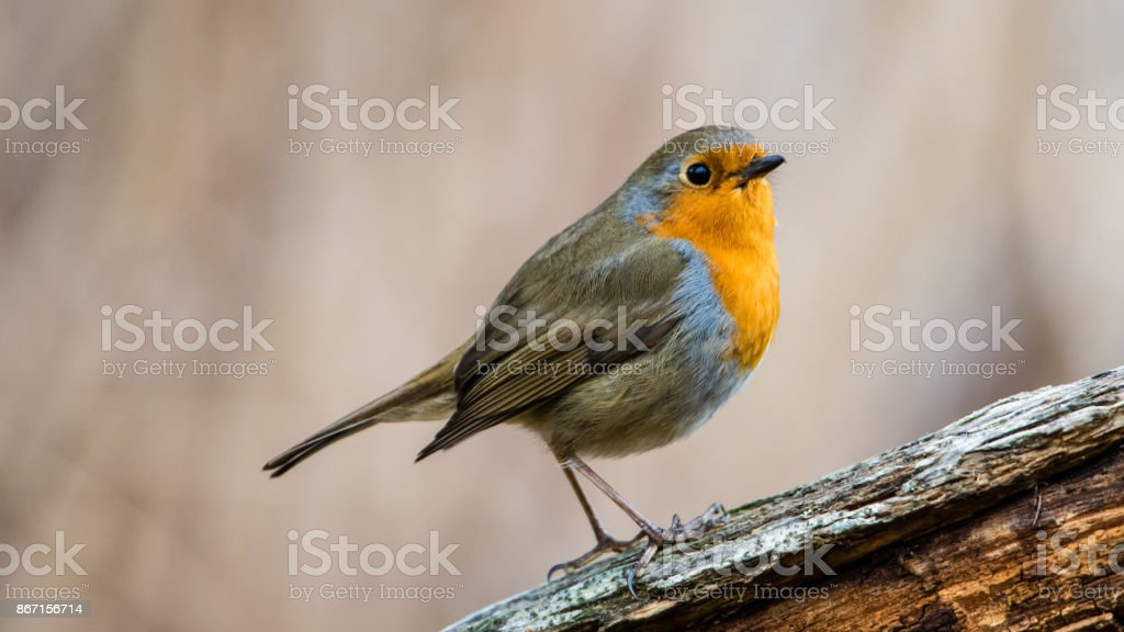 Robin in spring stock photo