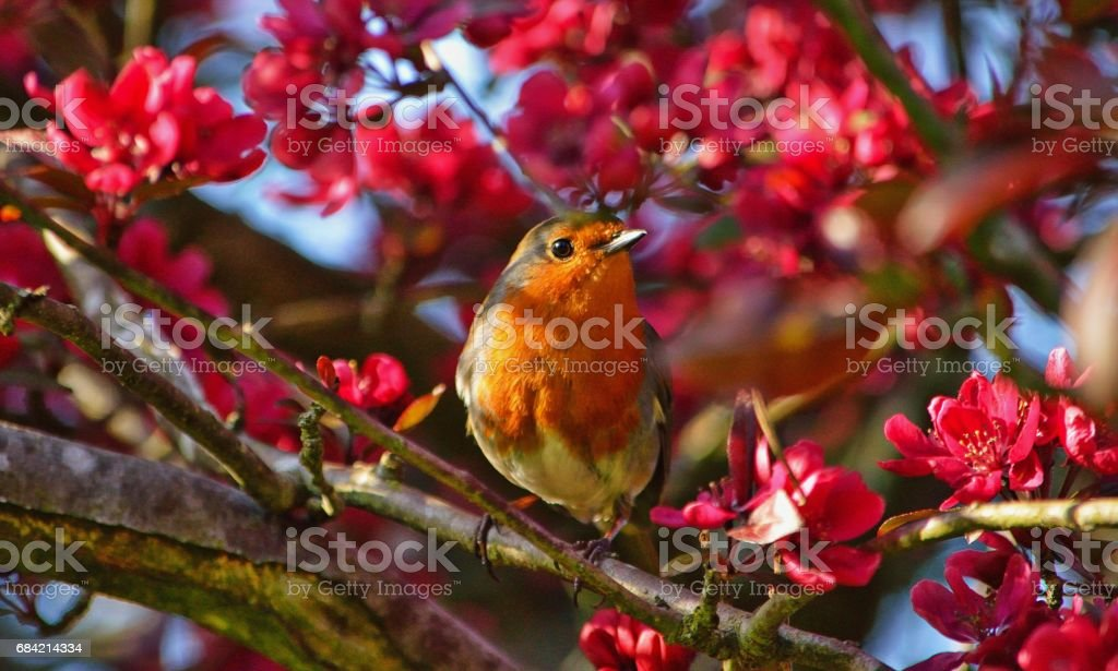 Robin in the Blossom royalty-free stock photo