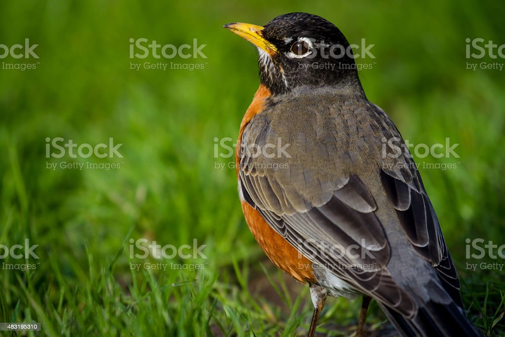 Robin in the Grass stock photo