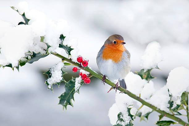 robin im schnee - stechpalme stock-fotos und bilder