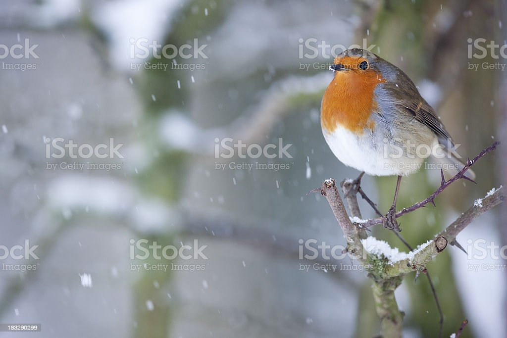 Robin in the Snow royalty-free stock photo