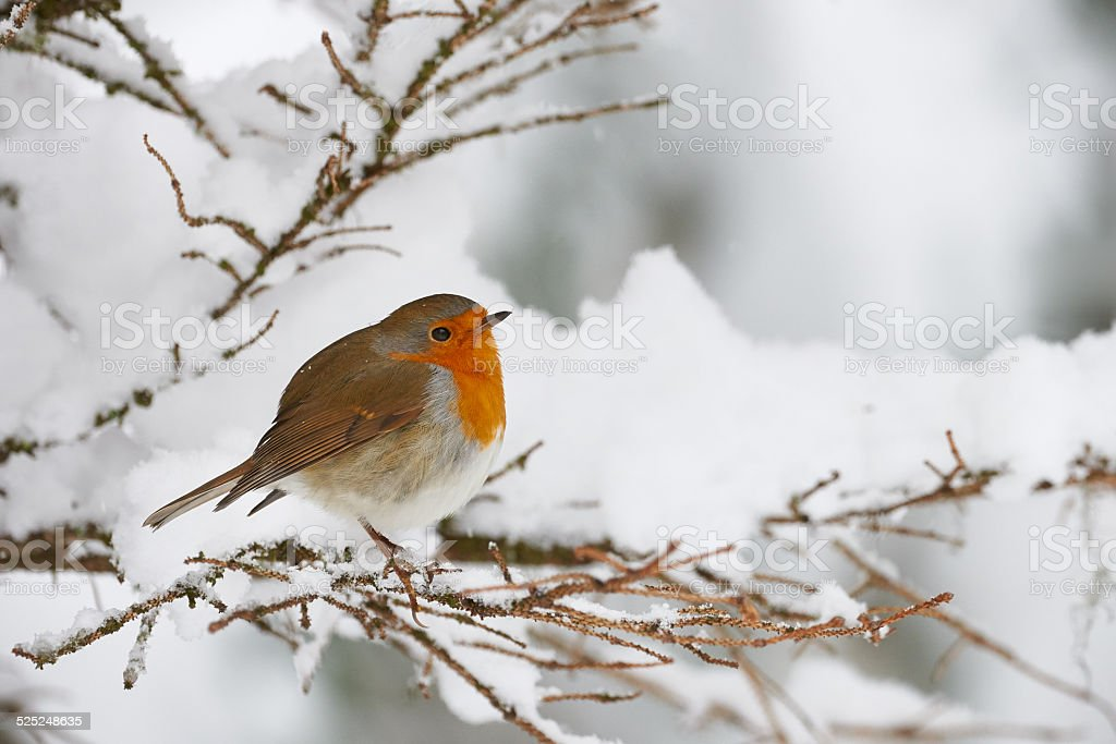 Robin in the snow stock photo