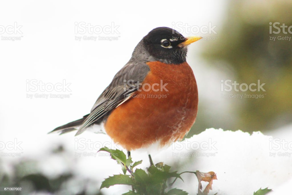 A Robin in the snow stock photo