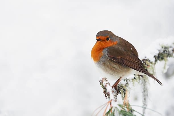 Robin in the white stock photo