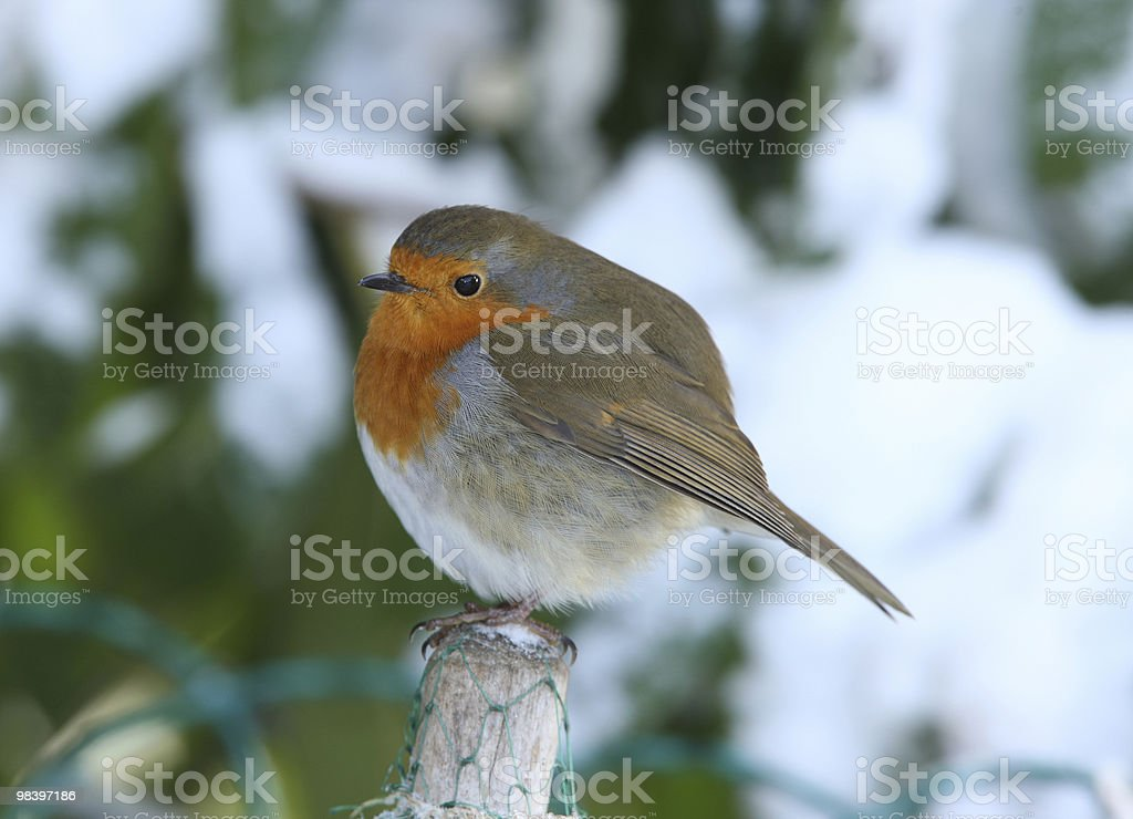 Robin in inverno foto stock royalty-free