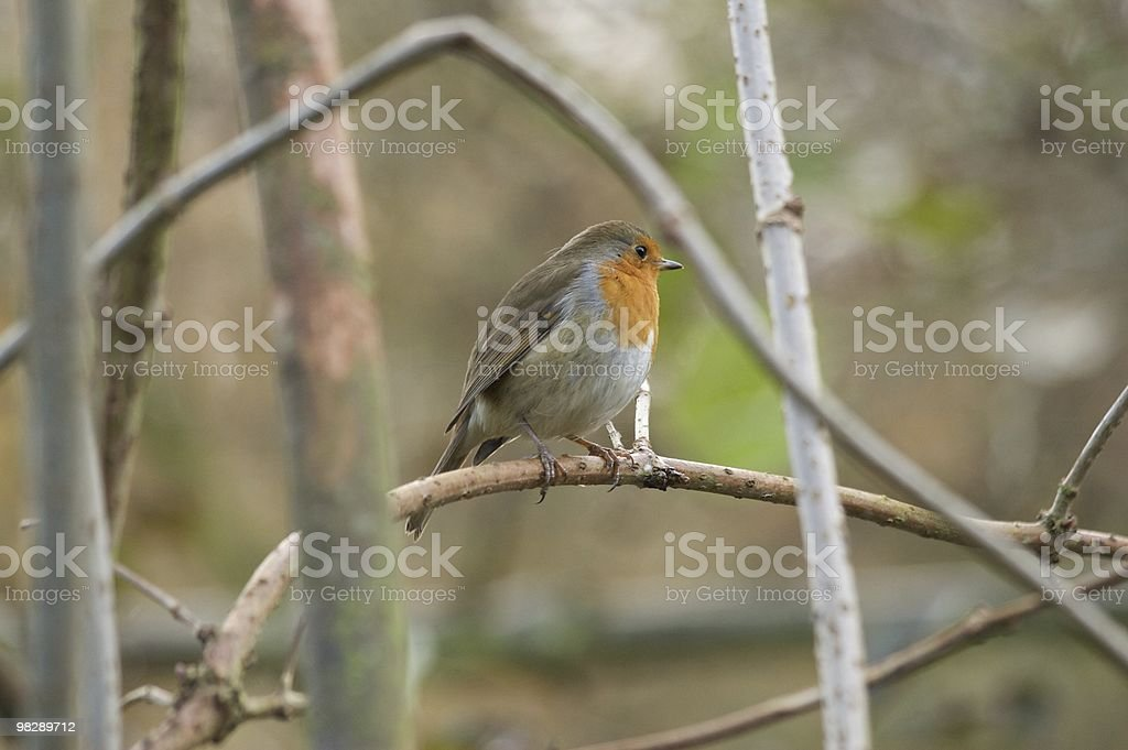 Robin in winter pose royalty-free stock photo