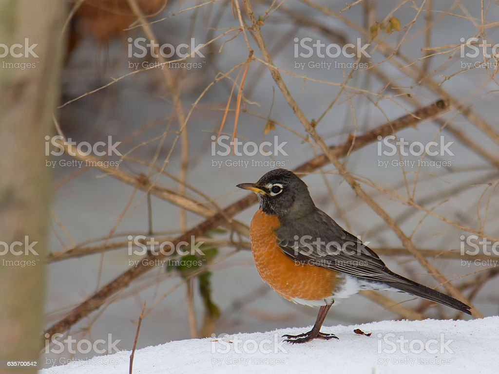 Robin in winter scene royalty-free stock photo