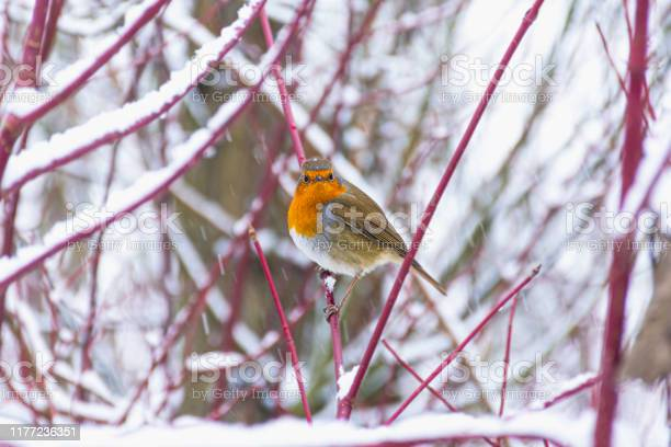Photo of Robin in winter woodland