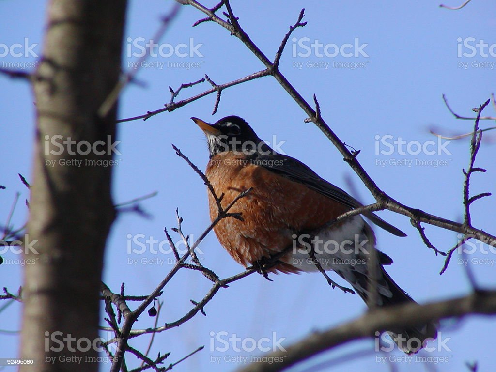 Robin looking for next berry royalty-free stock photo