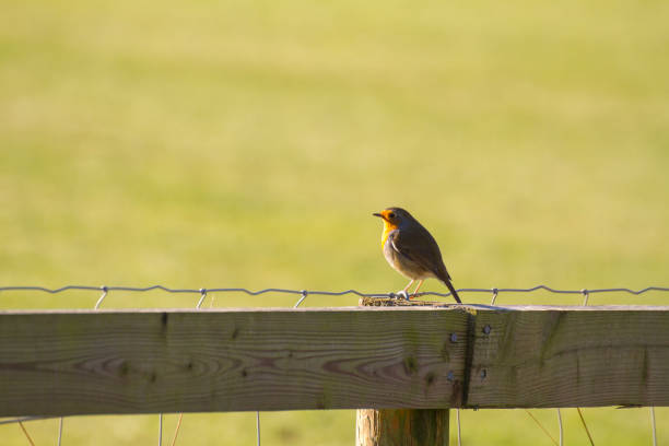 Robin on a fencepost in sunlight stock photo