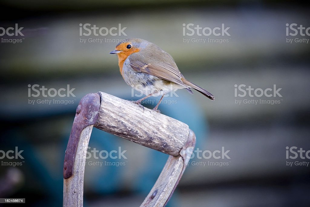 Robin on a Handle royalty-free stock photo