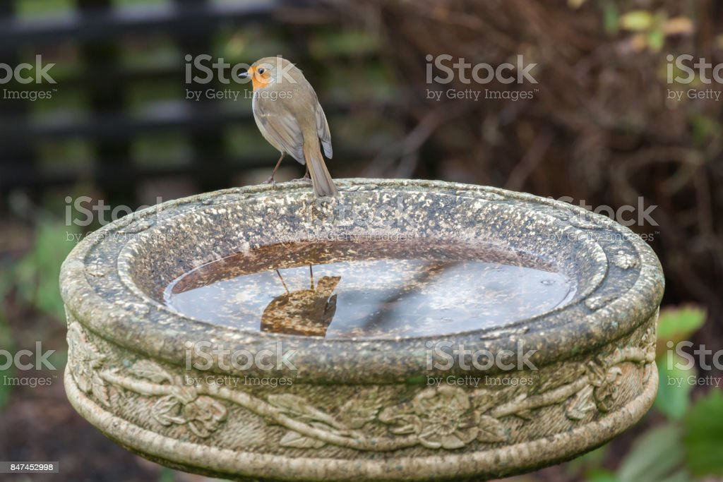 robin on bird bath stock photo