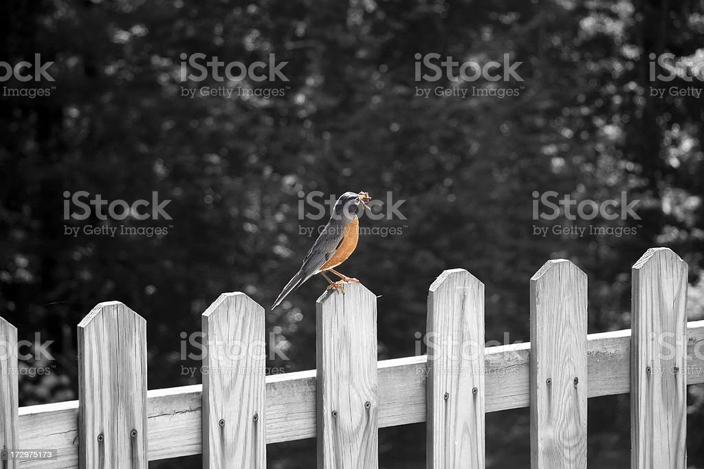 Robin on fence with worm - colorized stock photo