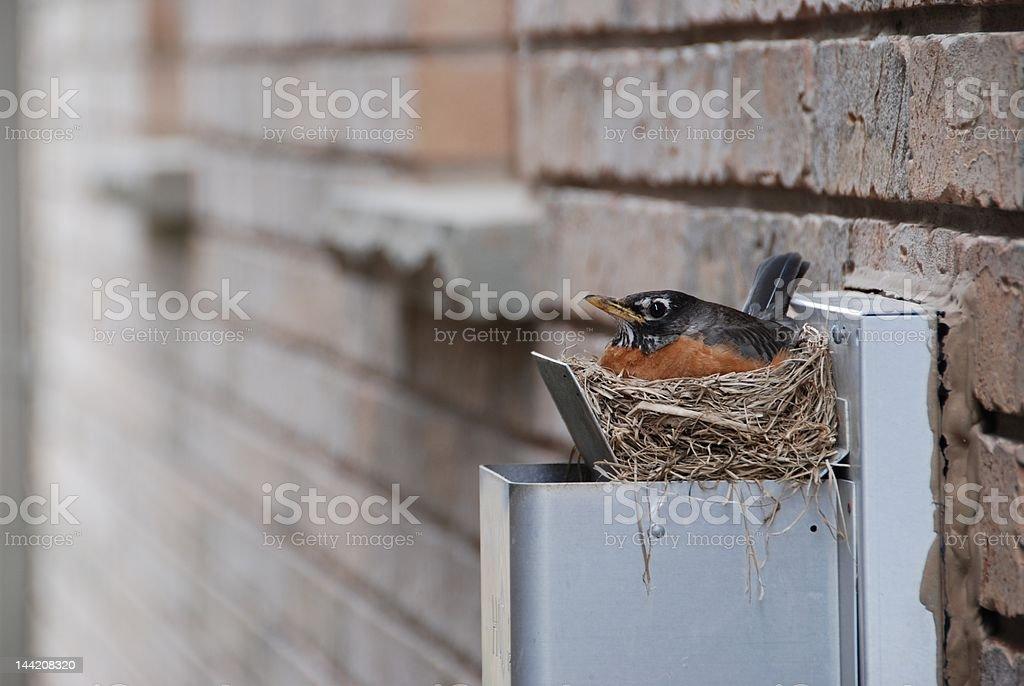 robin on the nest stock photo