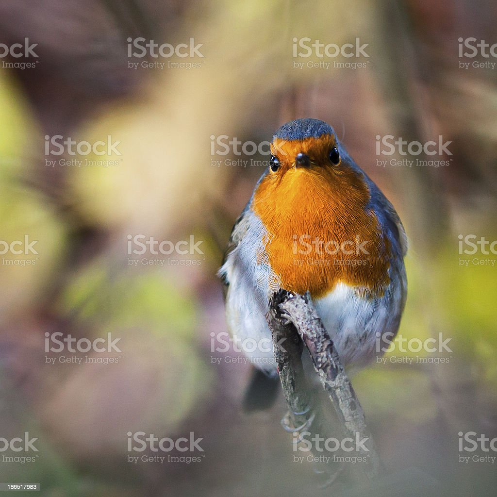 robin or redbreast royalty-free stock photo