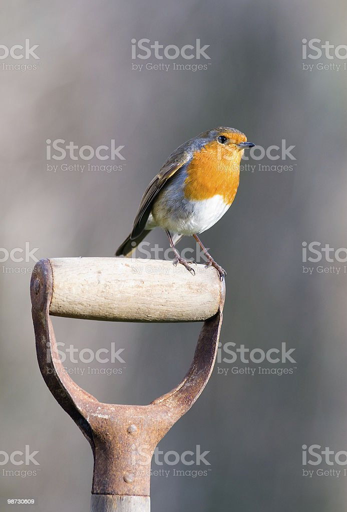 Robin perching on a garden spade royalty-free stock photo