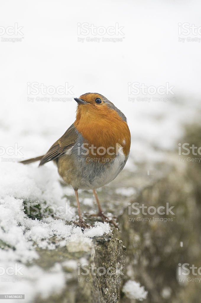 Robin perching on a snow covered wall royalty-free stock photo