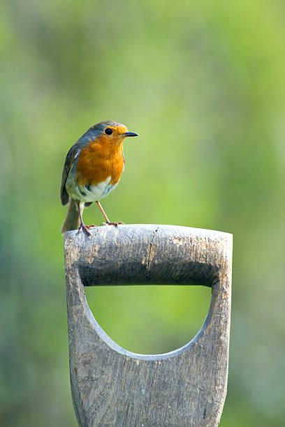 Robin perching on garden spade picture id121695664?b=1&k=6&m=121695664&s=612x612&w=0&h=epyylyyoe7xb77s3ighginfwgwjktc3 uluaocetzzi=