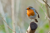 A European Robin in a Silver Birch tree in Springtime.