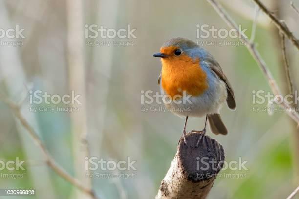 Robin picture id1030966828?b=1&k=6&m=1030966828&s=612x612&h=19hrgbbnro9n qozmi4sfmxnlwb9rgw x0 cr82f11q=