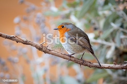 European Robin perched on a branch, early Autumn, Durham, UK