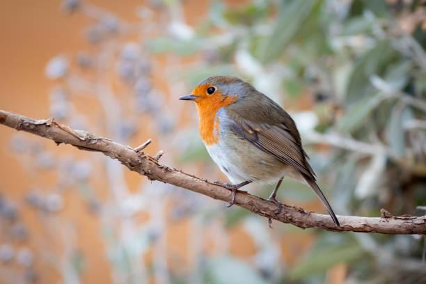 robin (erithacus rubecula) - vogel herfst stockfoto's en -beelden