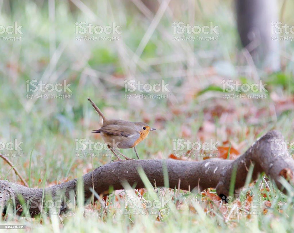 Robin (Erithacus rubecula) foto