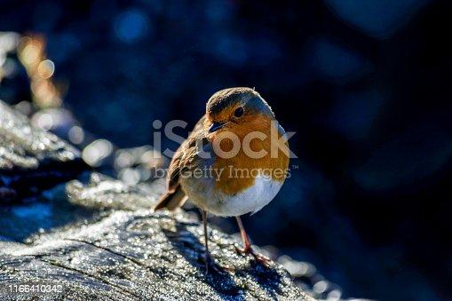 Robin perching on a log