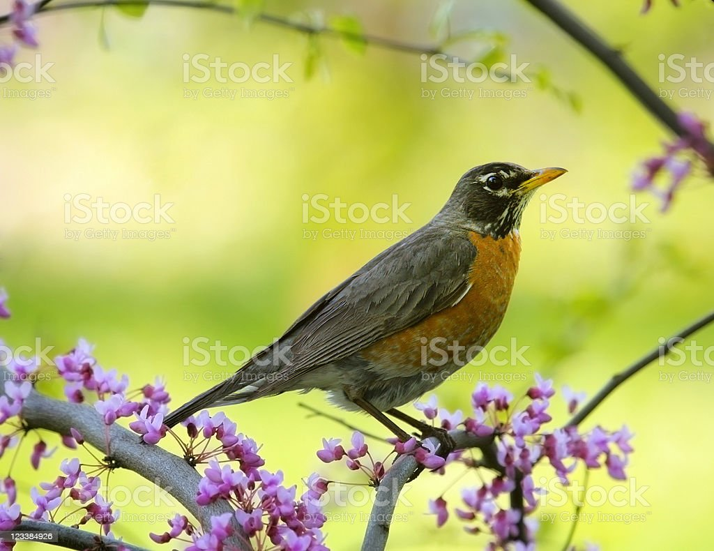 Robin stock photo