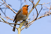 An American Robin perched on a tree branch. In the State of Oregon. Reddish-orange breast.