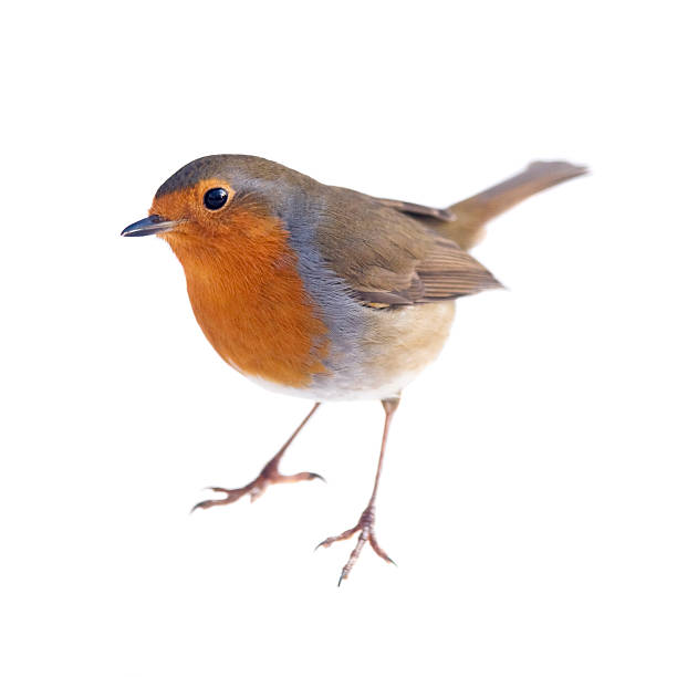robin - bird stock photos and pictures